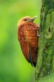 Pivert de couleur châtaigne de belle de forme forêt tropicale brune de montagne, castaneus de Celeus, oiseau de pâté de cochon av photographie stock