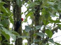 Pivert de Lineated, lineatus de Dryocopus, recherchant la nourriture dans une forêt brumeuse, Mindo, Equateur photos stock