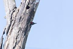Pivert de Lineated, lineatus de Dryocopus, se reposant sur la branche avec le trou de nid, oiseau dans l'habitat de nature, Costa photo stock