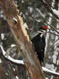 Pivert de Pileated creusant dans un arbre avalé photographie stock libre de droits
