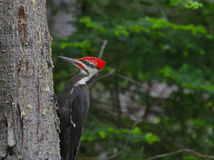 Pivert de Pileated dans la forêt photo stock