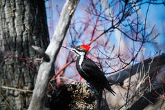 Pivert de Pileated (pileatus de Dryocopus) Photo stock