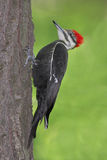 Pivert de Pileated (pileatus de Dryocopus) Photos stock
