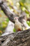 Pivert de Yucatan avec le bec incurvé dans l'arbre Images stock