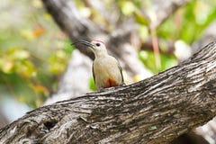 Pivert de Yucatan avec le bec incurvé dans l'arbre Photographie stock