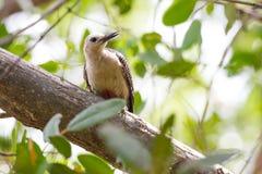 Pivert de Yucatan dans l'arbre Image libre de droits
