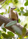 Pivert de Yucatan dans l'arbre Photo stock