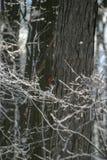Pivert dirigé rouge dans un arbre un après-midi d'hiver photo stock