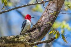 Pivert dirig? rouge Sheldon Marsh Trail huron l'ohio LES Etats-Unis photo stock
