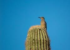 Pivert du Gila étant perché sur un cactus Photo stock