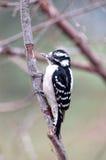 Pivert duveteux (femelle) Image libre de droits
