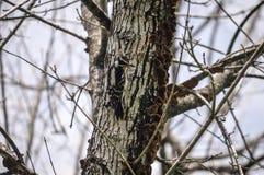 Pivert duveteux sur l'arbre Image stock