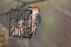 Pivert gonflé par rouge sur Suet Feeder photos stock