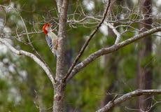 Pivert gonflé rouge dans un arbre recherchant des insectes photographie stock