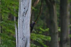 Pivert noir à picoter sur les arbres photographie stock