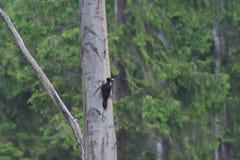 Pivert noir à picoter sur les arbres image libre de droits