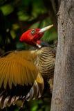 pivert Pâle-affiché - le guatemalensis de Campephilus est un pivert très grand qui est un oiseau de multiplication résident de du images stock