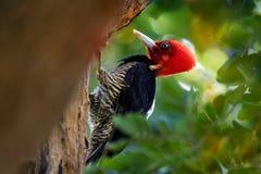 pivert Pâle-affiché - le guatemalensis de Campephilus est un pivert très grand qui est un oiseau de multiplication résident de du photographie stock