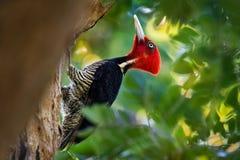 pivert Pâle-affiché - le guatemalensis de Campephilus est un pivert très grand qui est un oiseau de multiplication résident de du photos stock