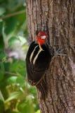 pivert Pâle-affiché - le guatemalensis de Campephilus est un pivert très grand qui est un oiseau de multiplication résident de du photo libre de droits