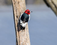 Pivert Red-Headed Photo stock