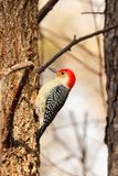 Pivert rouge de ventre sur un arbre d'orme, recherchant des insectes images stock