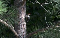 pivert Rouge-gonflé dans le pin de Loblolly, la Géorgie Etats-Unis Images libres de droits
