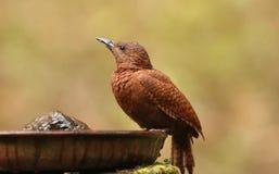 Pivert Rufous, brachyurus de Micropternus, Ganeshgudi, Karnataka, Inde photographie stock libre de droits