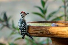 pivert soutenu par l'échelle à Bath d'oiseau image stock