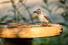 pivert soutenu par l'échelle à Bath d'oiseau photos libres de droits