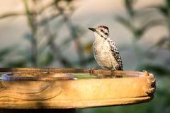 pivert soutenu par l'échelle à Bath d'oiseau photographie stock libre de droits