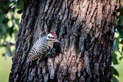 pivert soutenu par l'échelle sur Texas Oak Tree photos libres de droits