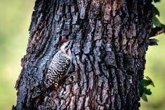 pivert soutenu par l'échelle sur Texas Oak Tree photographie stock