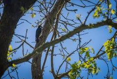 Pivert sur l'arbre photos stock