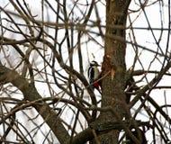 Pivert sur l'arbre image stock