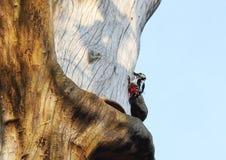 Pivert sur la vieille tige d'arbre, Lithuanie images libres de droits