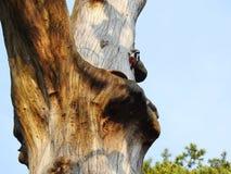 Pivert sur la vieille tige d'arbre, Lithuanie photo libre de droits