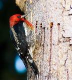 Pivert sur un arbre Images libres de droits
