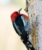 Pivert sur un arbre photographie stock libre de droits