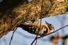 Pivert sur un plan rapproché d'arbre photographie stock libre de droits