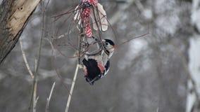 Pivert sur une branche Photo libre de droits