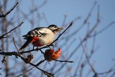 Pivert sur une branche mangeant Apple photos stock