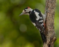 Pivert syrien (syriacus de Dendrocopos) photos libres de droits