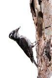 pivert Trois-botté avec la pointe du pied, tridactylus de Picoides Image libre de droits