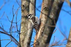 Pivert velu femelle un matin d'hiver Images stock