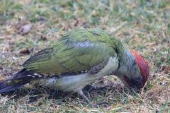 Pivert vert Photo libre de droits