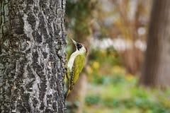 Pivert vert sur l'arbre photographie stock libre de droits