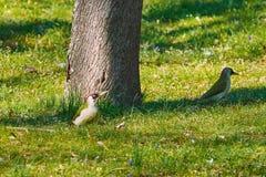Piverts verts dans l'herbe Photo libre de droits