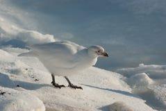 Piviere o Snowy bianco Sheathbill (albus di Chionis) Fotografia Stock Libera da Diritti