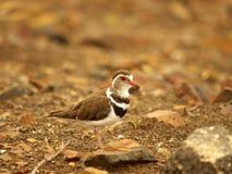 Uccelli africani del sud Fotografie Stock